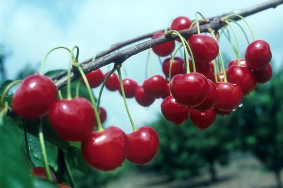 На12% загод увеличился урожай вишни ичерешни наСтаврополье